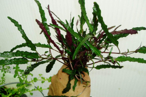 Hemigraphis Exotica red